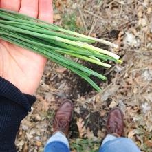 Picking wild green onions.